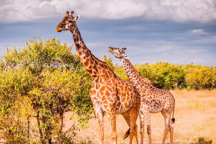 Premier safari au Kenya